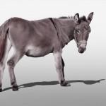 Hausesel (Equus asinus asinus)