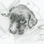 Haushund 'Lara' (Canis lupus familiaris)