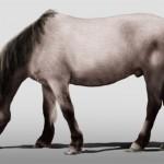 Hauspferd (Equus ferus caballus)