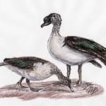 Höckerglanzgans (Sarkidiornis melanotos)