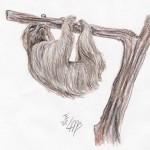 Hoffmann-Zweifingerfaultier (Choloepus hoffmanni)