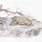Kreuzkröte (Bufo calamita)