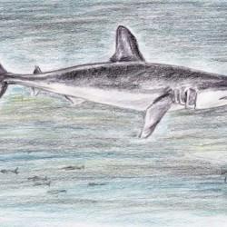 Kurzflossen-Mako (Isurus oxyrinchus)