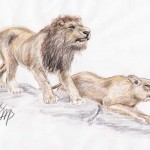 Massai-Löwe (Panthera leo massaicus)