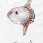 Mondfisch (Mola mola)