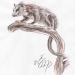 Nordopossum (Didelphis virginiana)