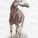 Okapi (Okapia johnstoni)