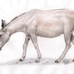 Onager (Equus hemionus onager)
