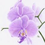 Orchidee (Phalaenopsis species)