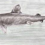 Riesenhai (Cetorhinus maximus)