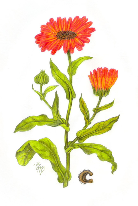 лечебный цветок рисунок обитающие горах