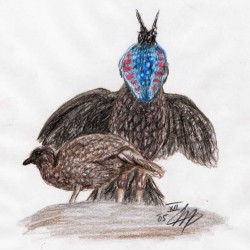 Satyrtragopan (Tragopan satyra)