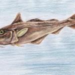 Schellfisch (Melanogrammus aeglefinus)