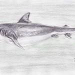 Schwarzhai (Carcharhinus obscurus)