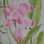 Breitblättrige Platterbse (Lathyrus latifolius)