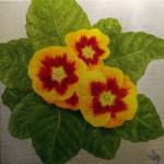 Primel (Primula species)