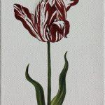 Tulpe 'Semper Augustus' (Tulipa species)