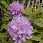 Alpenrose (Rhododendron species)
