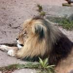 Angola-Löwe (Panthera leo bleyenberghi)