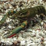 Australischer Flusskrebs (Cherax quadricarinatus)