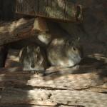 Bergmeerschweinchen (Kerodon rupestris)