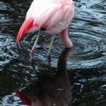 Chile-Flamingo (Phoenicopterus chilensis)