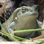 Coloradokroete (Bufo alvarius)