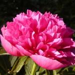 Echte Pfingstrose (Paeonia officinalis)