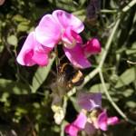 Erdhummel (Bombus species)