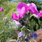 Erdhummel (Bombus species)