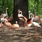 Flamingo (Phoenicopterus species)