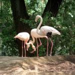 Flamingo (Phoenicopterus species)