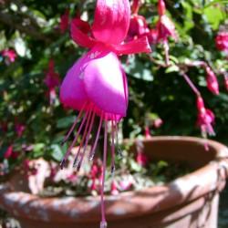 Fuchsie (Fuchsia species)