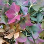 Gartenhortensie (Hydrangea macrophylla)