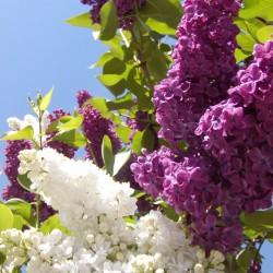 Gemeiner Flieder (Syringa vulgaris)