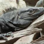 Gemeiner Schwarzleguan (Ctenosaura similis)