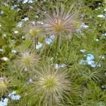 Gewöhnliche Kuhschelle (Anemone pulsatilla)