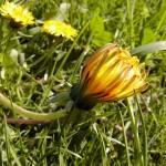 Gewöhnlicher Löwenzahn (Taraxacum officinale)