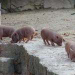 Göttinger Minischwein (Sus scrofa domestica)