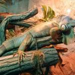 Gruener Leguan (Iguana iguana)