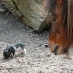 Hängebauchschwein (Sus scrofa domestica)