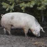 Hausschwein (Sus scrofa domestica)