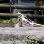 Hausziege (Capra aegagrus hircus)