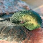 Kastanienente (Anas castanea)