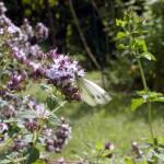 Kleiner Kohlweissling (Pieris rapae)