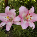 Lilie (Lilium species)