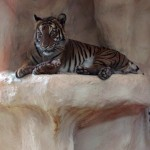 Malaysia-Tiger (Panthera tigris jacksoni)