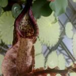 Nepenthes x mizuhokondo
