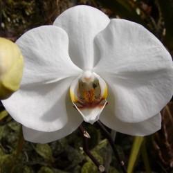 Orchidee (Phalaenopsis PREMIUM XL)