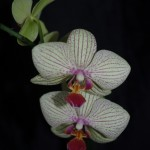 Orchidee (Phalaenopsis species)